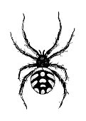 Antique illustration of black widow, or steppe spider (Latrodectus tredecimguttatus)
