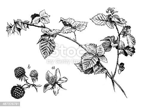 Antique illustration of  blackberry bush (Rubus fruticosa)