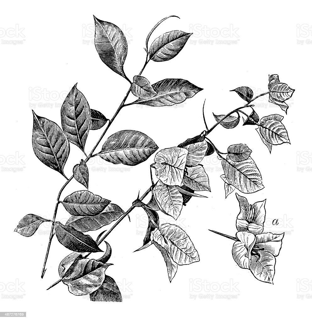Antique illustration of Bougainvillea vektör sanat illüstrasyonu