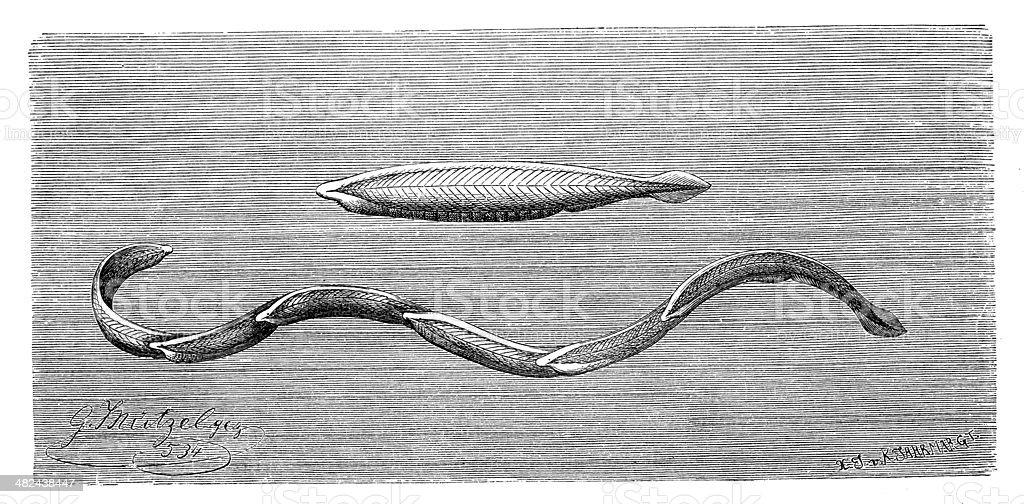 Antique Illustration Of Branchiostoma Lanceolatum Or Amphioxus Stock ...