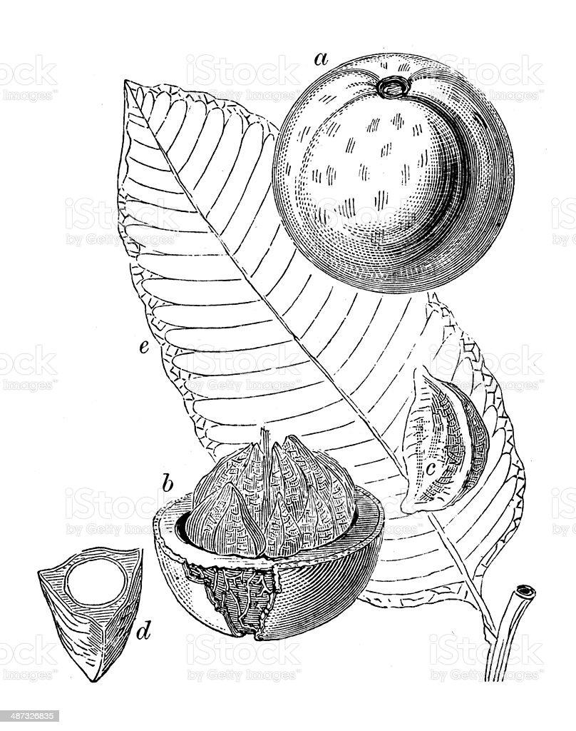Antique illustration of Brazil nut (Bertholletia excelsa) vector art illustration