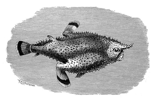 Antique Illustration Of Brazilian Batfish Or Seadevil Stock Illustration - Download Image Now