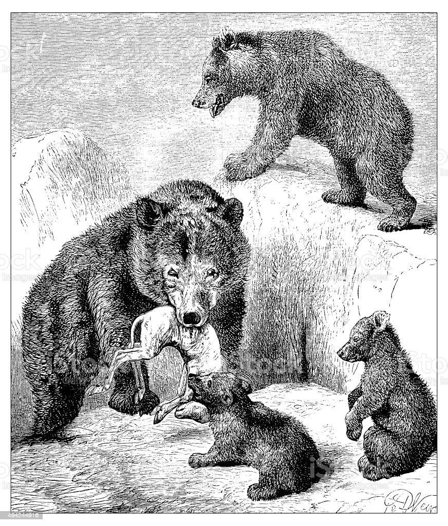 Antique illustration of brown bears vector art illustration