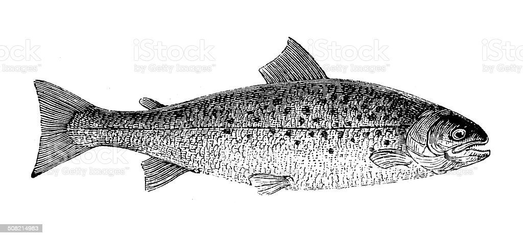 Antique illustration of brown trout (Salmo trutta) vector art illustration