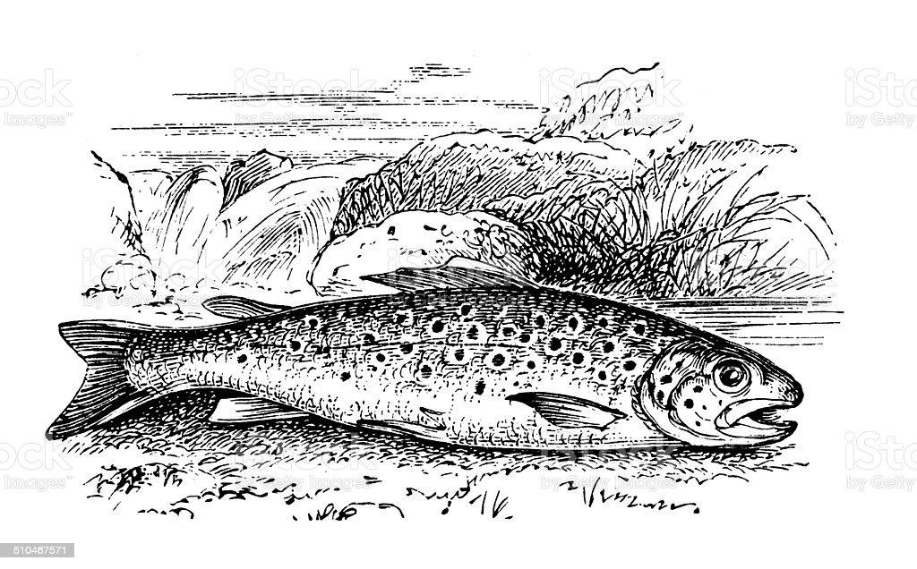 Antique illustration of Brown Trout (Salmo trutta morpha fario) vector art illustration