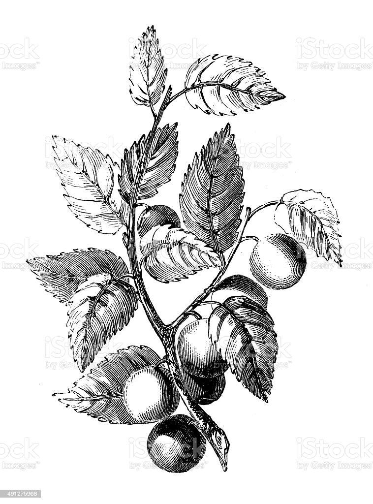 Antique illustration of bullace tree (plum) vector art illustration