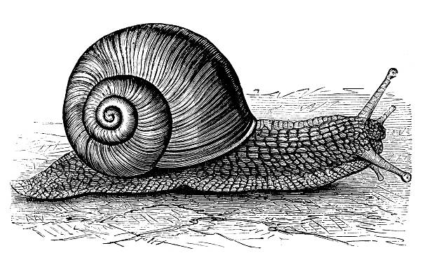 antique illustration of burgundy snail or escargot (helix pomatia) - snail stock illustrations