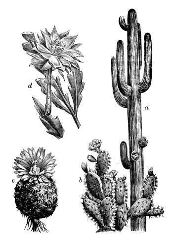 Antique illustration of cactus