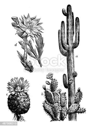 Antique illustration of cactus: saguaro (Carnegiea gigantea), Opuntia cochenillifera, mammillaria pectinifera, Epiphyllum anguliger