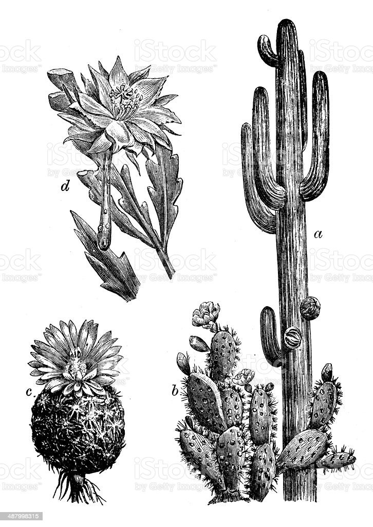 Antique illustration of cactus vector art illustration
