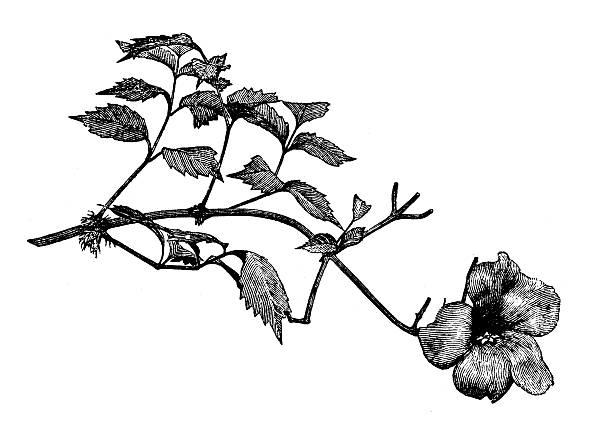 Antique illustration of Campsis radicans (trumpet vine, trumpet creeper) vector art illustration