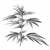 Antique illustration of Cannabis