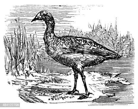 Antique illustration of Cape Barren Goose (Cereopsis novaehollandiae)