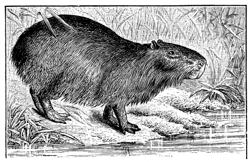 Antique illustration of capybara (Hydrochoerus hydrochaeris)