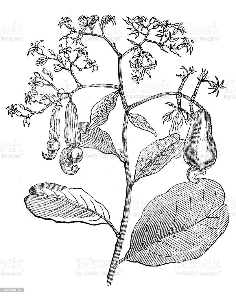 Antique illustration of cashew tree (Anacardium occidentale) royalty-free stock vector art