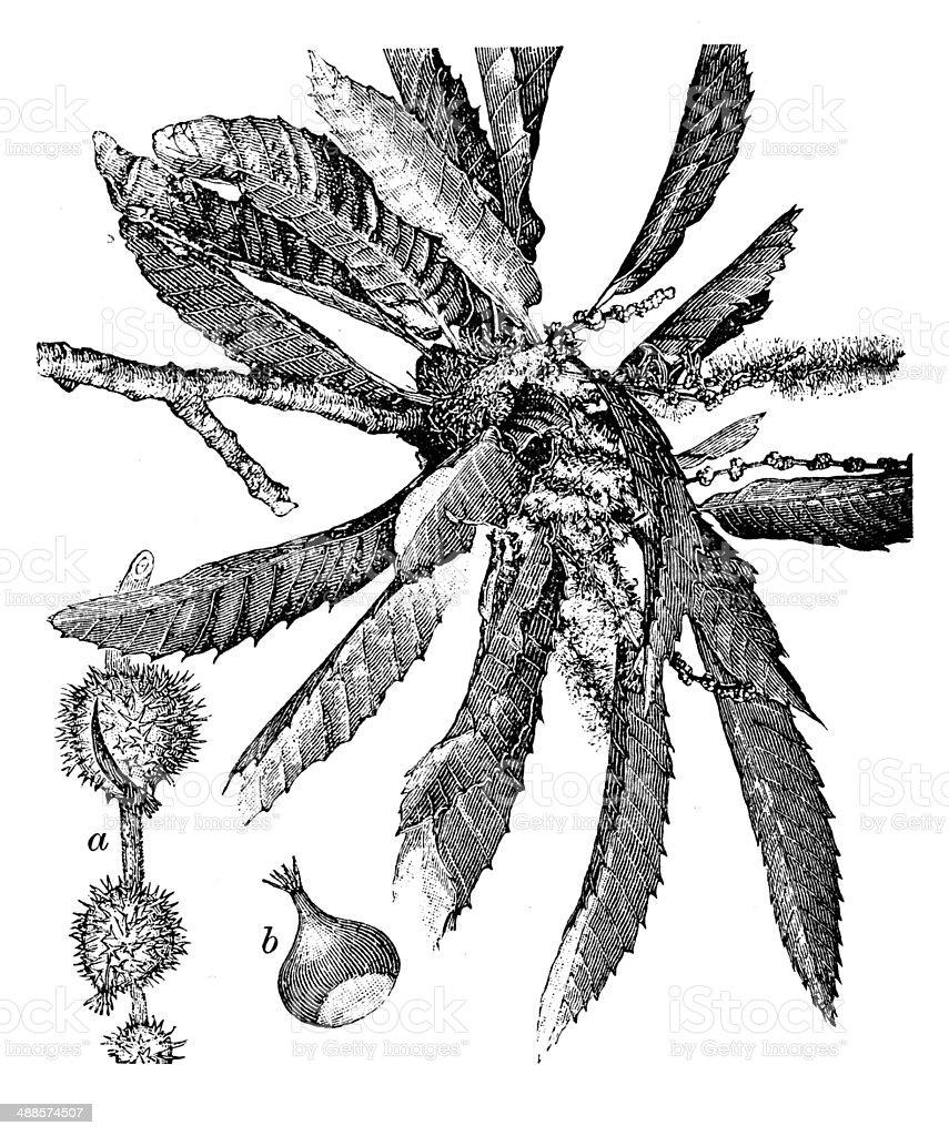 Antique illustration of Castanea sativa or Sweet Chestnut vector art illustration