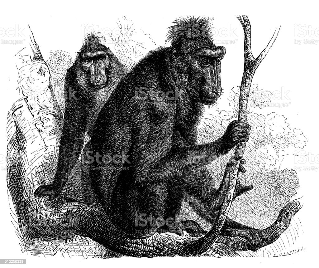 Antique illustration of Celebes crested macaque (Macaca nigra) vector art illustration