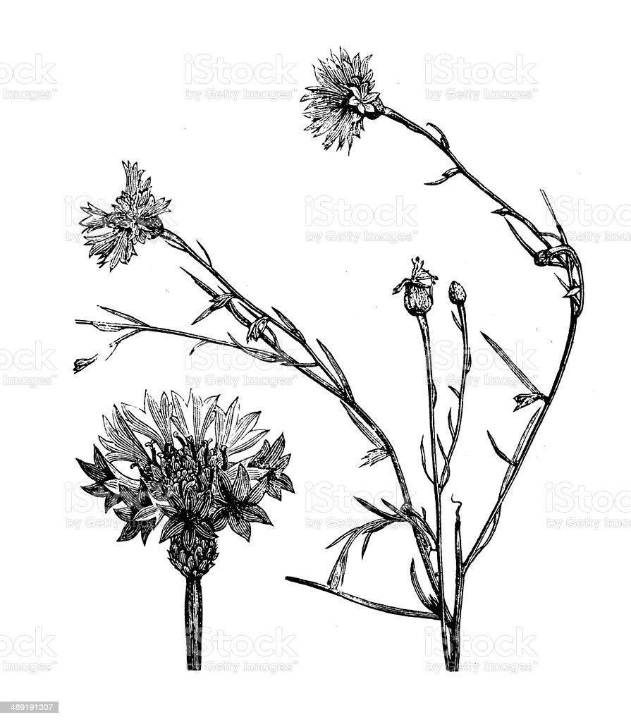 Antique illustration of Centaurea cyanus (cornflower, bachelor's button, bluebottle) vector art illustration