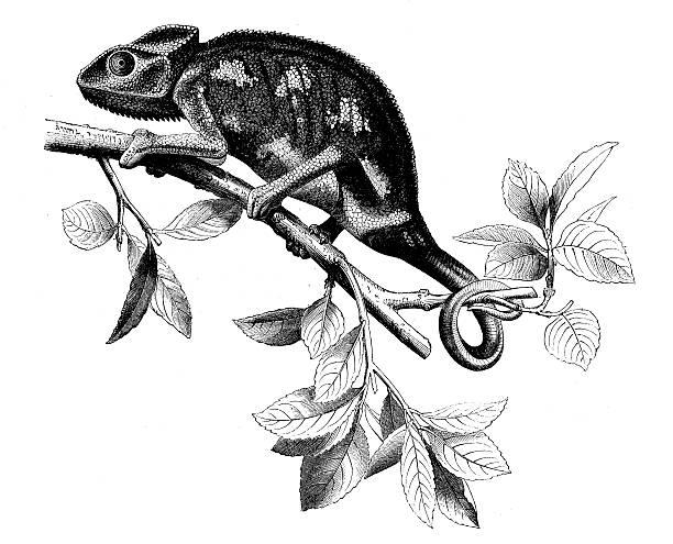 antique illustration of chameleon - chameleon stock illustrations