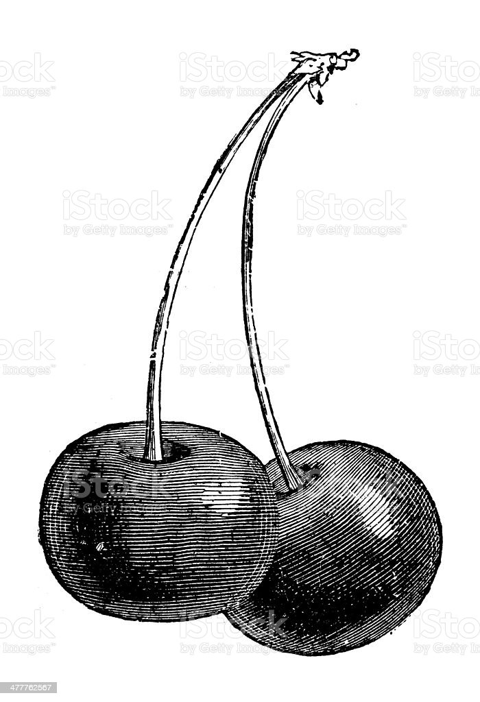 Antique illustration of cherry vector art illustration