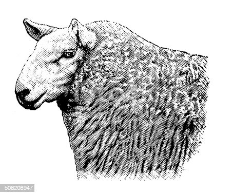 Antique illustration of Cheviot Ewe
