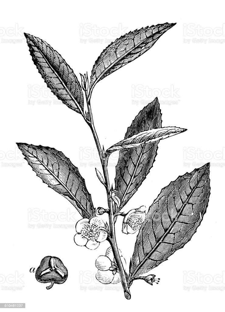 Antique illustration of China Tea (Camellia sinensis) vector art illustration
