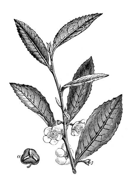 illustrazioni stock, clip art, cartoni animati e icone di tendenza di illustrazione antica di tè cinese (camelia sinensis) - camellia sinensis