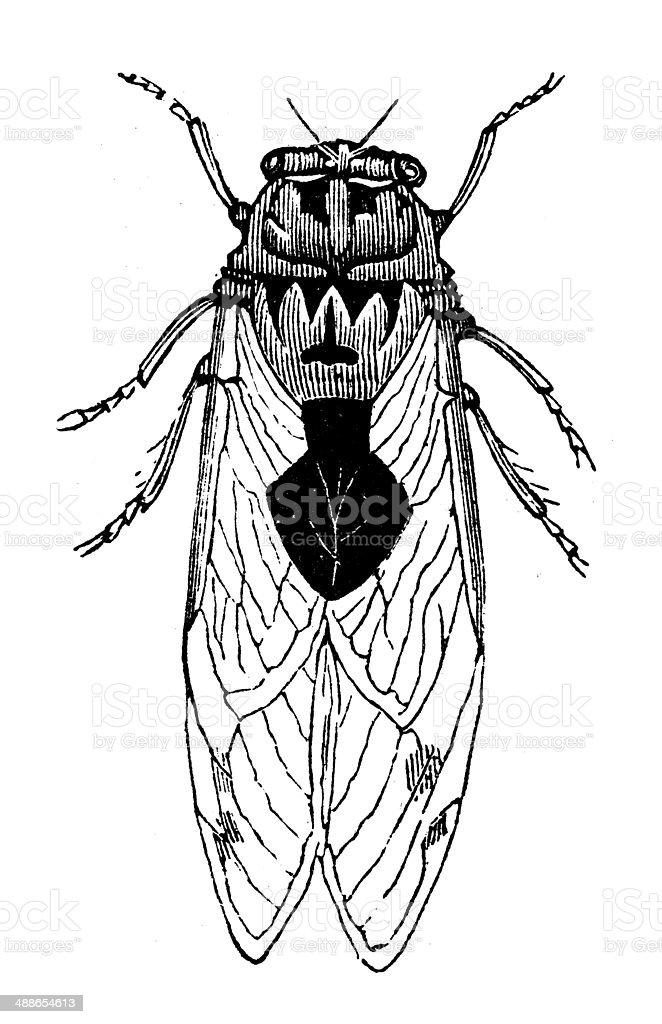 Best Cicada Illustrations  Royalty