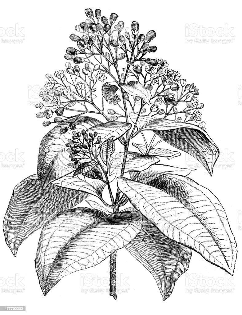 Antique illustration of Cinnamomum verum (Cinnamon) vector art illustration