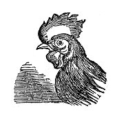 Antique illustration of cock