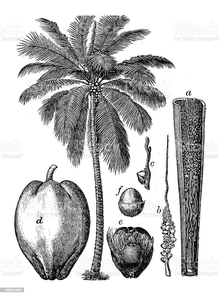 Antique illustration of coconut palm (Cocos nucifera) vector art illustration