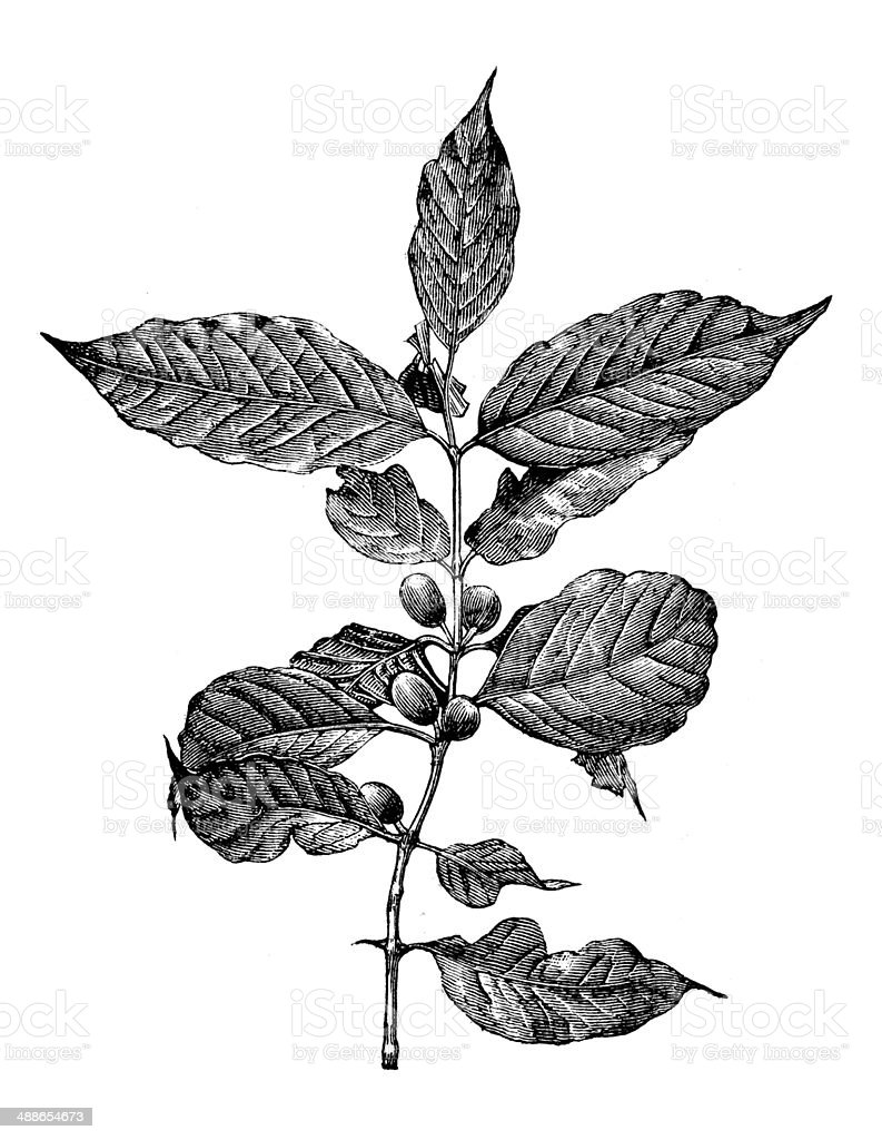 Antique illustration of coffee tree vector art illustration