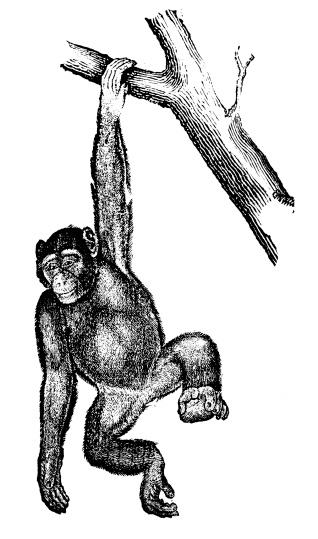 Antique illustration of common chimpanzee (Pan troglodytes)