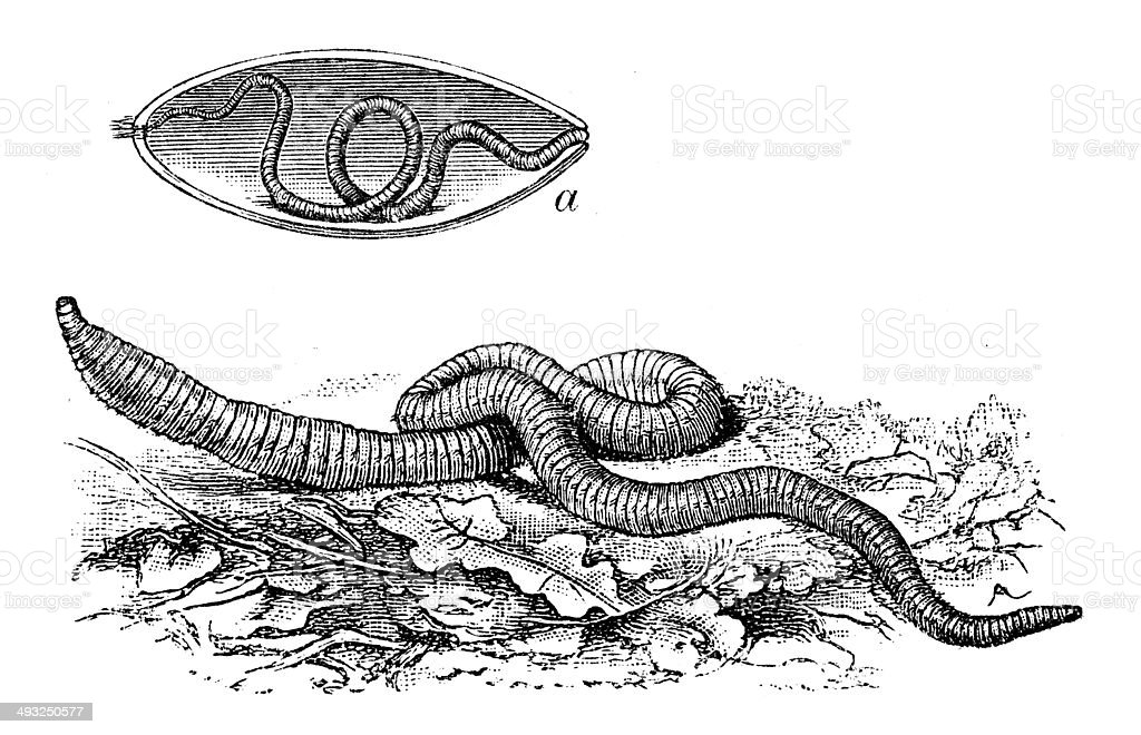 Antique illustration of common earthworm vector art illustration