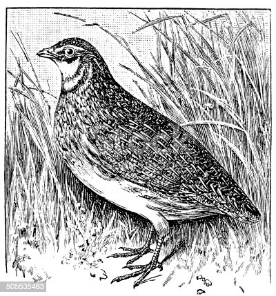Antique illustration of common quail (Coturnix coturnix)