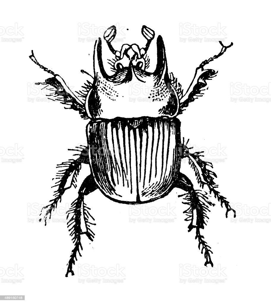 Antike Illustration Von Gemeinsamen Typhoeus Oder Minotaurus Kafer