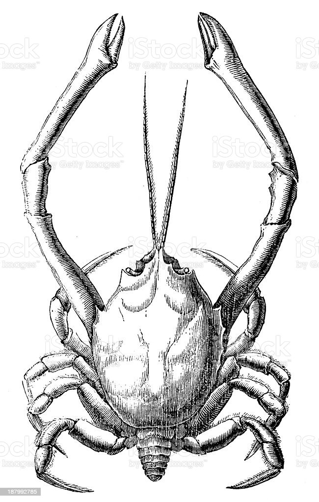Antique illustration of Corystes cassivelaunus (masked crab, helmet crab) royalty-free stock vector art