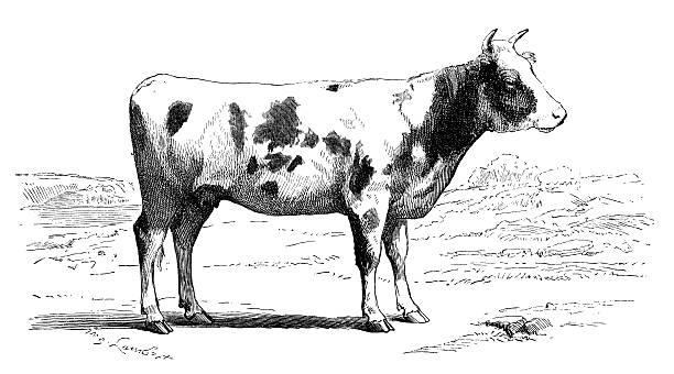 Antique illustration of cow vector art illustration