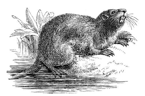 Antique illustration of coypu (Myocastor coypus)