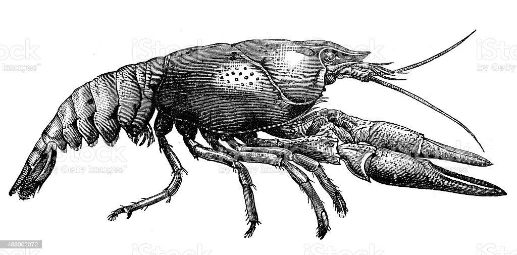 Antike Illustration Von Krebs Crawfish Crawdads Freshwater Hummer