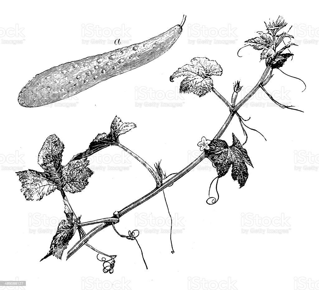 Antique illustration of Cucumber (Cucumis sativus) vector art illustration