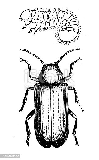 Antique illustration of the Anobium striatum, insect also called deathwatch beetle or death watch beetle (but under this name also go other similar insects), a woodboring beetle of the family Anobiidae. Above the insect there is its larva