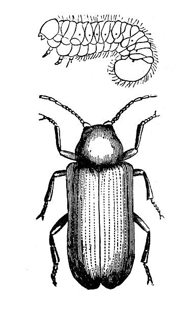 stockillustraties, clipart, cartoons en iconen met antique illustration of deathwatch beetle (anobium striatum) and larva - bargerecht