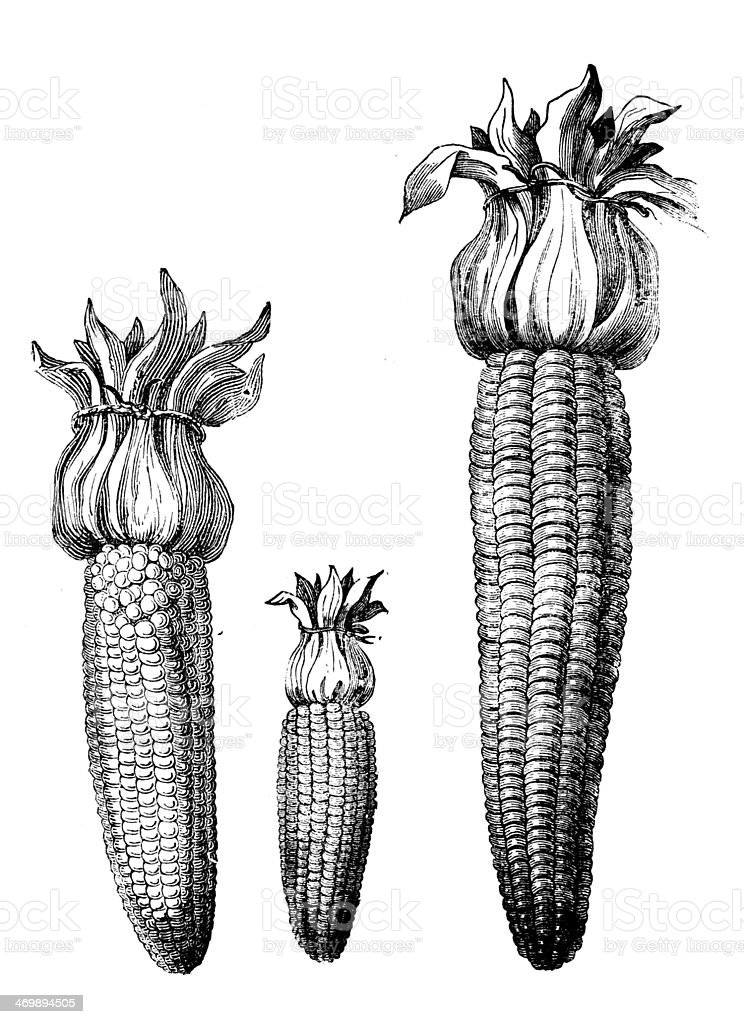 Antique illustration of different kind corn maize ears vector art illustration