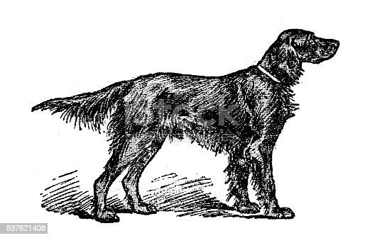 Antique illustration of dog (Irish Setter)