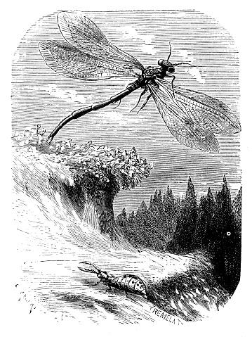 Antique illustration of dragonfly