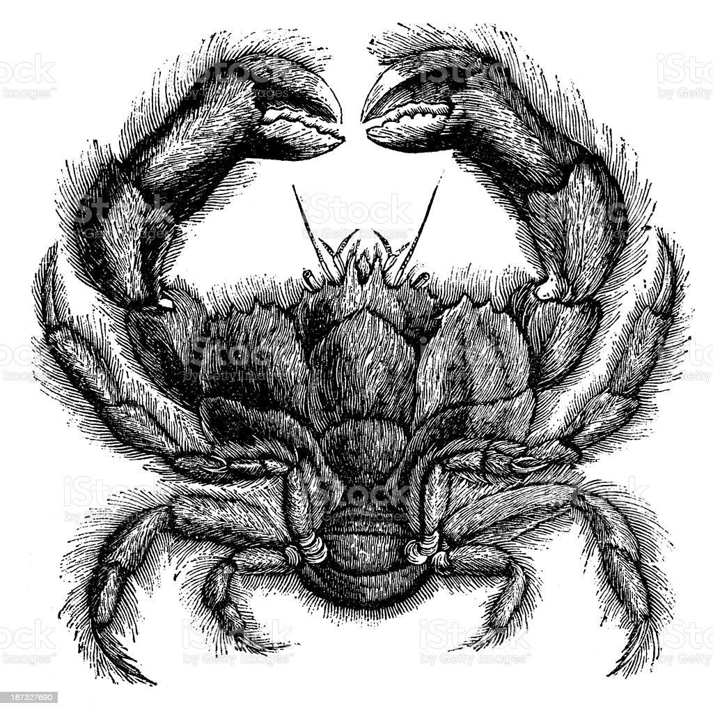 Antique illustration of Dromia dormia, the sleepy sponge crab royalty-free stock vector art