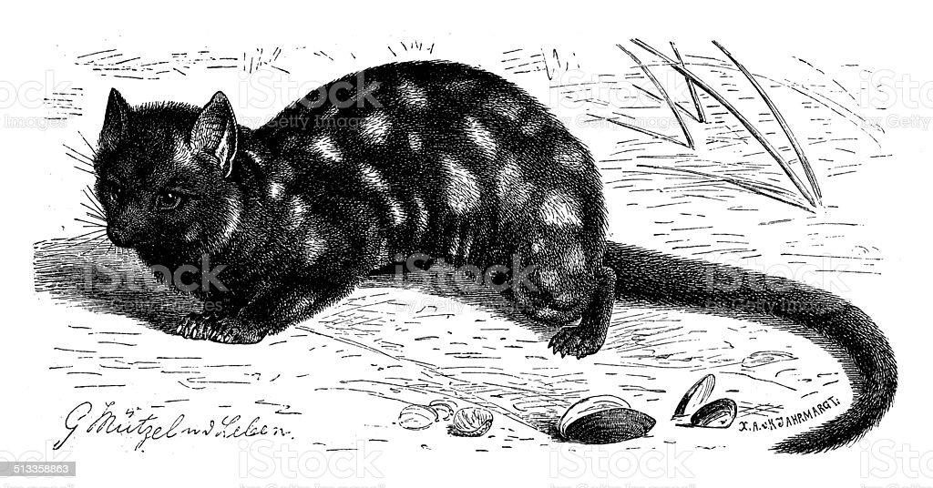 Antique illustration of eastern quoll (Dasyurus viverrinus) vector art illustration