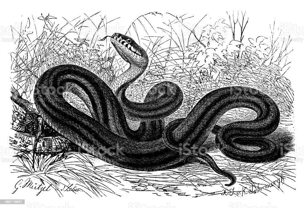 Antique illustration of Elaphe quatuorlineata (four-lined snake) vector art illustration