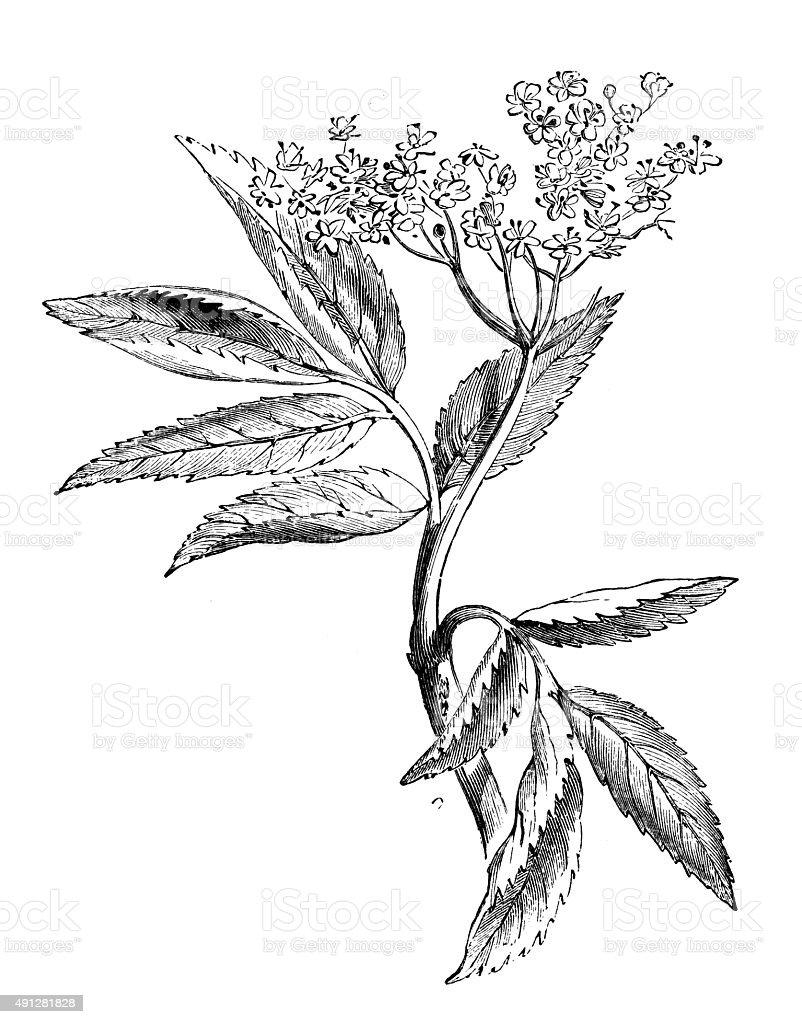 Antique illustration of elder vector art illustration